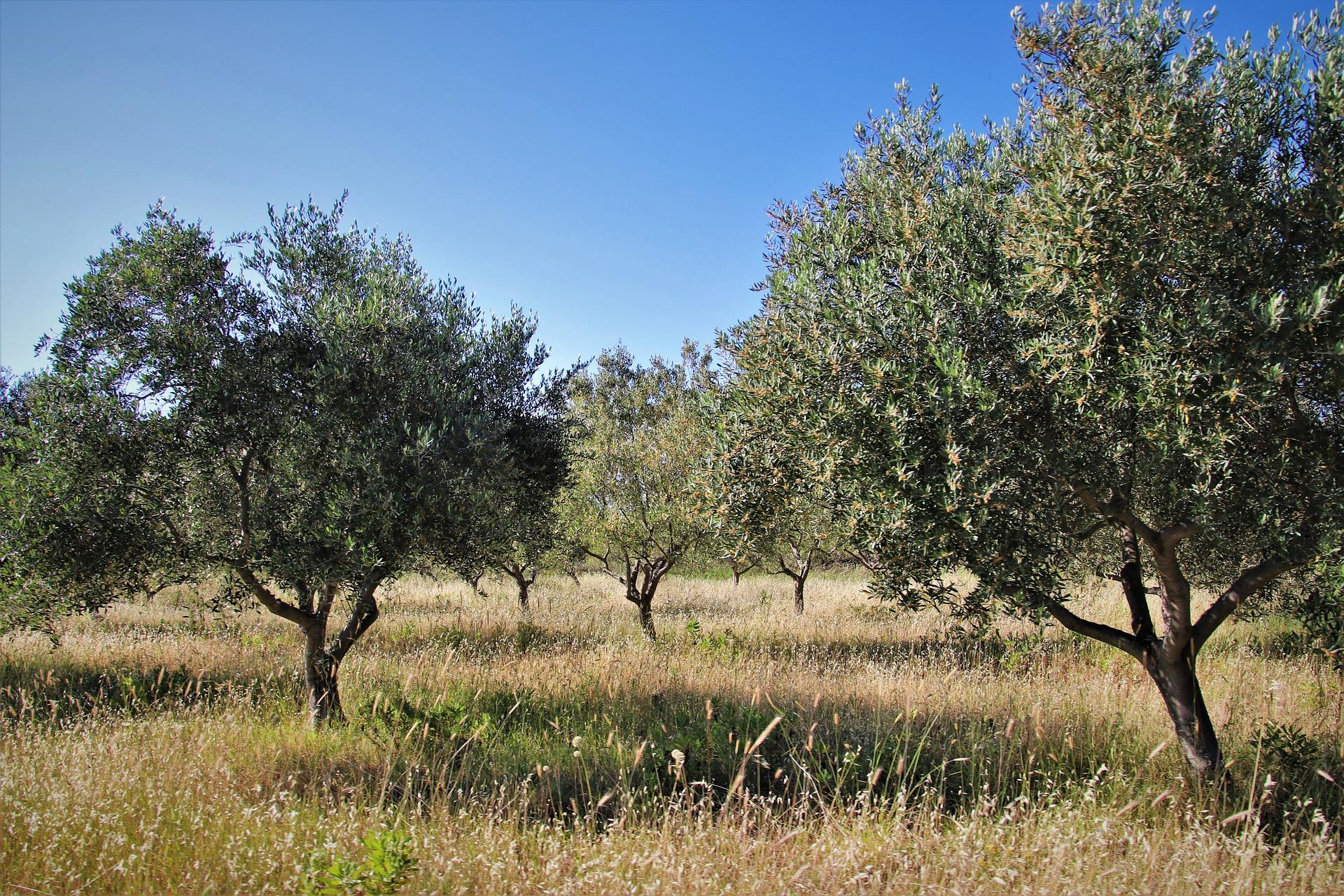 bien choisir son olivier